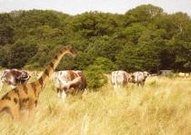 cattle_web1